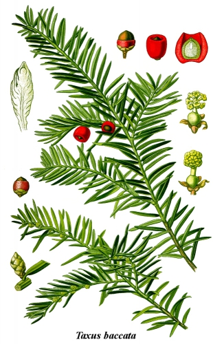 Cleaned-Illustration_Taxus_baccata.jpg