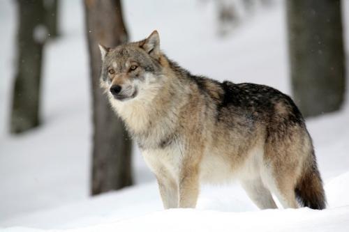 les-loups-de-gueret.jpg