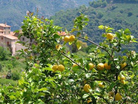 citronnier_et_citron-4790c.jpg