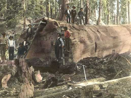 Sequoia_Log.jpg
