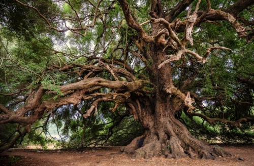olivier-tree-by-Liggraphy-760x500.jpg