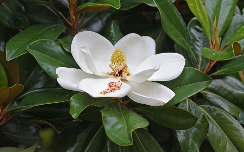 Magnolia_flower_Duke_campus.jpg