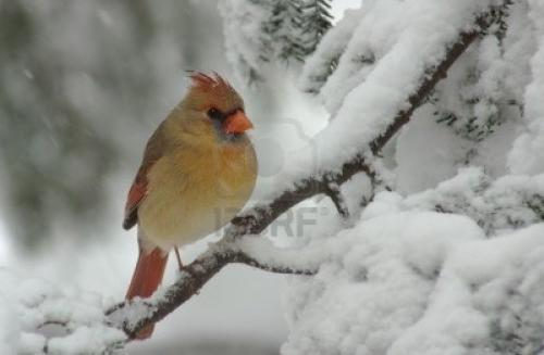 8111932-une-femme-cardinal-du-nord-cardinalis-perche-sur-une-neige-couverts-evergreen-durant-une-tempete-de-.jpg