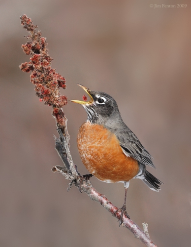 211-american-robin-turdus-migratorius-eating-by-jim-fenton.jpg