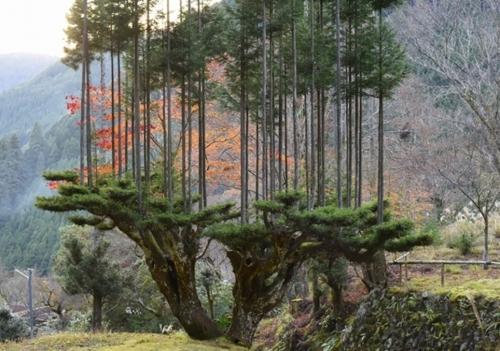 como-hace-japon-para-obtener-madera-sin-talar-arboles-daisugi-284411-2.jpg