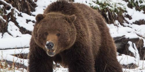 grizzly-1125x564.jpg