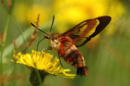 sphynx colibri.jpg