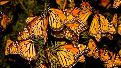 130717_d815m_monarques-papillons_sn635.jpg