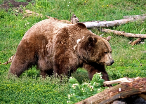 grizzly-bear-3483891_960_720.jpg