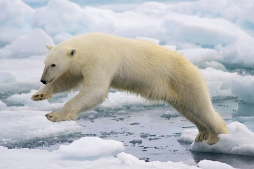 Polar_Bear_AdF.jpg