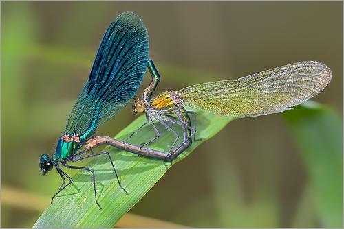 accouplement_libellules_calopteryx_splendens.jpg