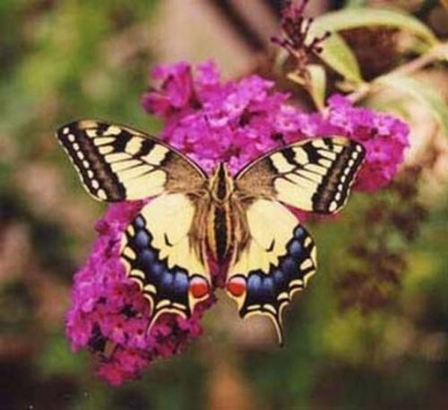 med-papilio-machaon-sur-budleya-l-arbre-aux-papillons-visoflora-13353.jpg