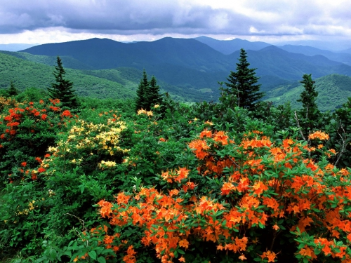 Flame_Azaleas_in_Bloom_Appalachian_Trail_North_Carolina.jpg