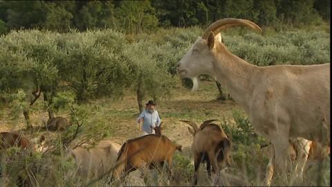 289051017-oliveraie-troupeau-de-chevres-bosquet-provence.jpg