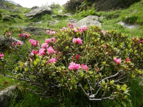 phoca_thumb_l_fleurs-alpes-rhododendron.jpg