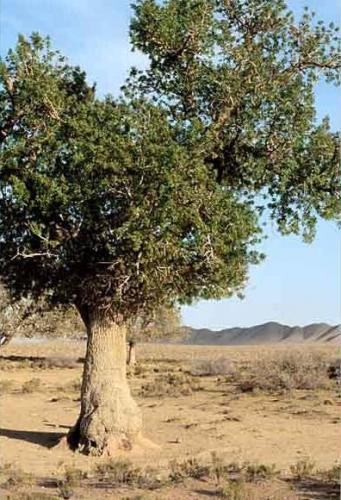 Térébinthe arbre.jpg