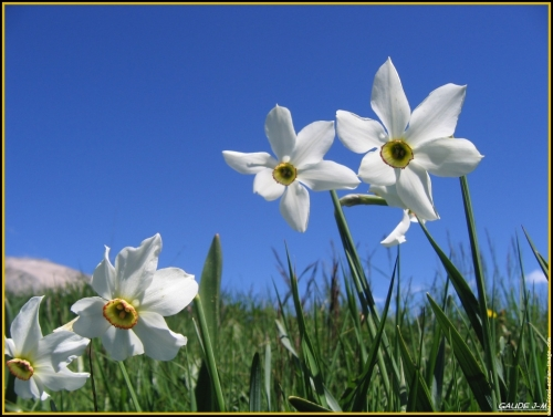 narcisses-des-poetes-007-382.jpg