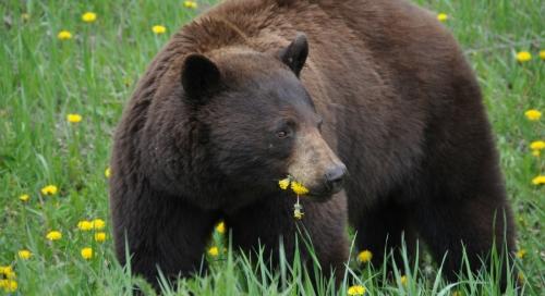 quoi-faire-si-vous-rencontrez-un-ours.jpg