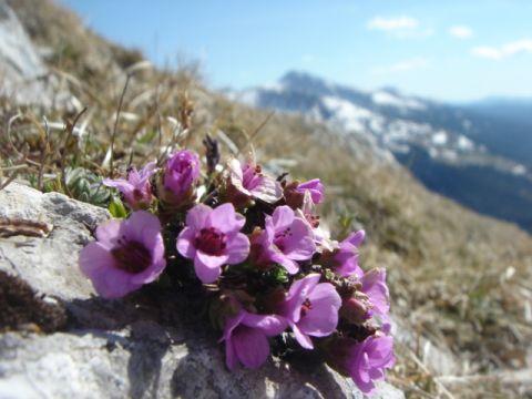 randonnee-liberte-en-vercors-flore-alpine-saxifrage-feuilles-opposees-279.jpg