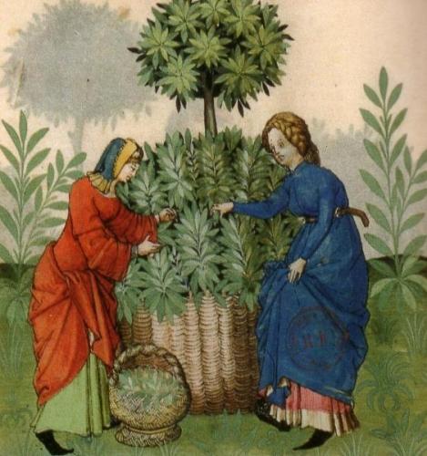 cueillette-plante-medicinale-moyen-age.jpg